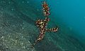 Harlequin Ghostpipefish (Solenostomus paradoxus) (6065548049).jpg