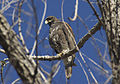 Harris's Hawk Arizona.jpg