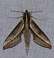 Hawkmoth (Xylophanes amadis) (38660610212).jpg