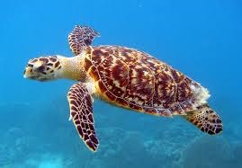 Hawksbill Sea Turtle (Critically Endangered Species)