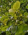 Hazel (Corylus avellana) - Oslo, Norway 2020-08-29.jpg