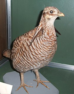 Heath Hen, Boston.jpg