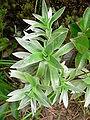 Helichrysum heliotropifolium P1180690.jpg