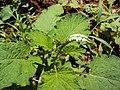 Heliotropium indicum 04a.JPG