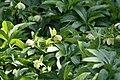 Helleborus foetidus Piccadilly 0zz.jpg
