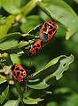 Hemiptera sp.jpg