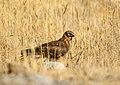 Hen Harrier (Circus cyaneus) (24609688838).jpg