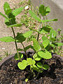 Herb-apple-mint-960x1280.jpg