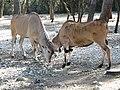 Herbivore au zoo de Lunaret (2363297007).jpg