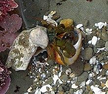 Foto subacquea di un granchio eremita e guscio di gasteropode