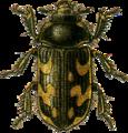 Heterocerus marginatus Jacobson.png
