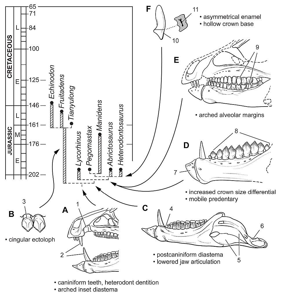 Heterodontosauridae evolution