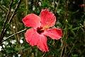 Hibiscus @ Waimea Valley (5217075318).jpg