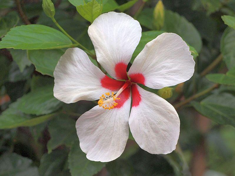 File:Hibiscus Tricolor.jpg