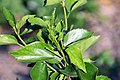 Hibiscus fragilis 2zz.jpg