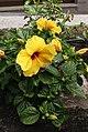 Hibiscus spec.jpg