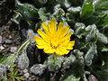 Hieracium villosum 0071.jpg