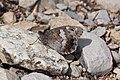 Hipparchia statilinus-Calvisson-20140721.jpg