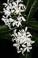 Holarrhena pubescens 1DS-II 2-5999.jpg