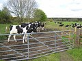 Holsteins at Polwhilly - geograph.org.uk - 435181.jpg