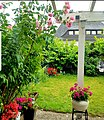 Home Garden roses Jun20.jpg