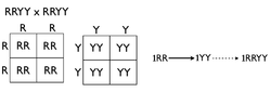 Homozygous cross tree method.png