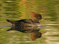 Hooded merganser - female.jpg