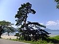 Horai no matsu at Lakeside of Tazawa.jpg