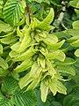Hornbeam fruit (3830093451).jpg