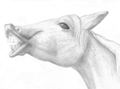 Horse exhibiting flehmen response (drawing).png