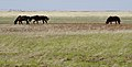Horses Grazing on the Kazakhstani Steppe (7131707195).jpg