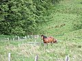 Horses in the Kildrummy pass - geograph.org.uk - 468969.jpg