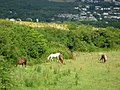 Horses near Fishguard - geograph.org.uk - 208655.jpg
