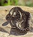 Horseshoe Whip Snake (Hemorrhois hippocrepis) juvenile (36229090510).jpg