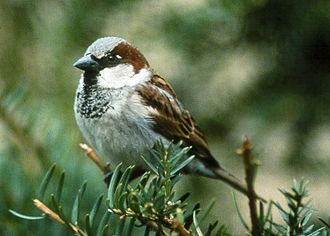 Ornithology - House sparrow (Passer domesticus)
