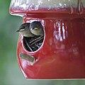House Wrens Fledging (4880615526).jpg
