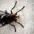 Housefly macro.jpg