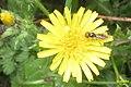Hoverfly by Bray Lake (24815944540).jpg