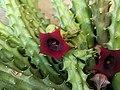 Huernia schneideriana (Family Apocynaceae) - flowers.jpg