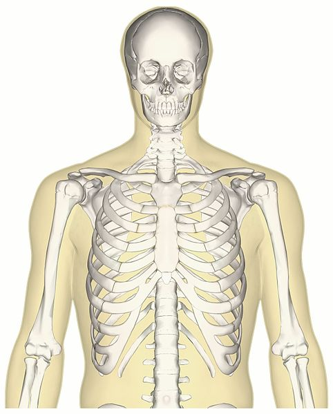 File Human Skeleton Upper Body Anterior View Jpg