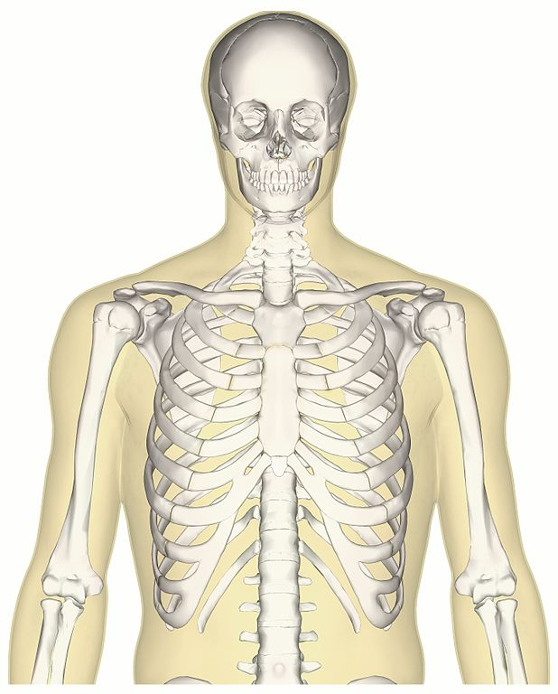 file:human skeleton upper body anterior view - wikimedia commons, Skeleton