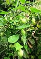 Humulus lupulus var. cordifolius 080919.JPG