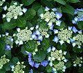 Hydrangea macrophylla4 ies.jpg