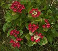Hydrangea macrophylla Rotschwanz A.jpg