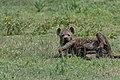 Hyena Rolling in the Grass (49898524023).jpg