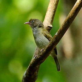 Hylophilus semicinereus - Grey-chested Greenlet.JPG