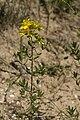 Hypericum perforatum bethisy-saint-martin 60 18062008 2.jpg