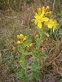 Hypericum richeri002.jpg
