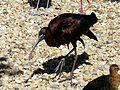 Ibis falcinelle Argelès-Gazost parc animalier (3).JPG