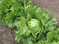 Iceberg lettuce (IJssla krop).jpg